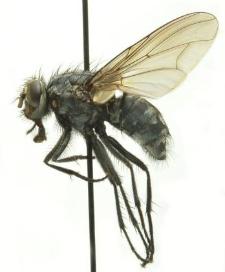 Polietes lardarius (Fabricius, 1781)