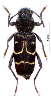 Xylotrechus capricornus (F. Gebler, 1830)