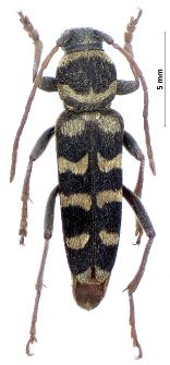 Echinocerus floralis (P.S. Pallas, 1773)