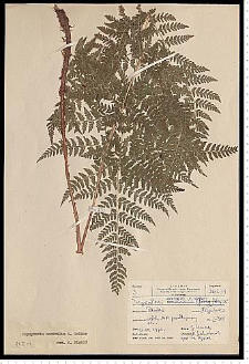 Dryopteris expansa (C. Presl) Fraser-Jenk. & Jermy