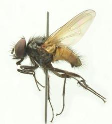Hydrotea borussica Stein, 1899