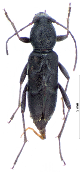 Chlorophorus sartor (O.F. Müller, 1766)