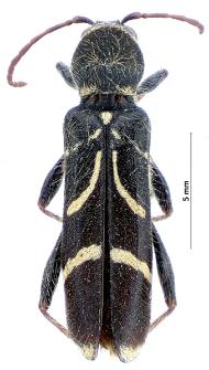 Cyrtoclytus capra(E.F. Germar, 1824)