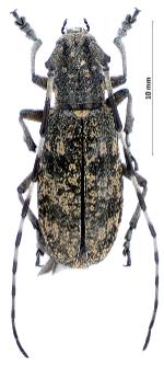 Monochamussaltuarius(F. Gebler, 1830)