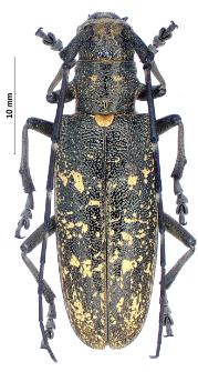 Monochamussartor urussovii(J.G. Fischer von Waldheim, 1805)