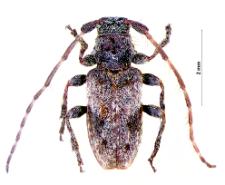 PogonocherusdecoratusL. Fairmaire, 1855