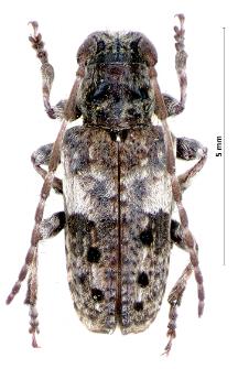 Pogonocherusfasciculatus(Ch. De Geer, 1775)