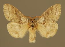 Calliteara pudibunda (Linnaeus, 1758)