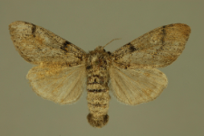 Dicallomera fascelina (Linnaeus, 1758)