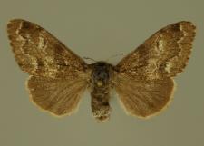 Gynaephora selenitica (Esper, 1789)