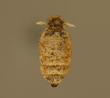 Orgyia antiqua (Linnaeus, 1758)