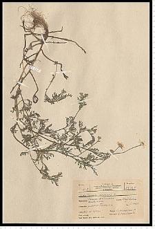 Anthemis arvensis L.