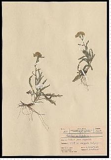 Achillea millefolium L.