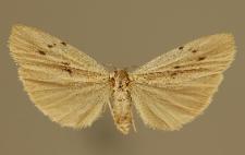 Pelosia muscerda (Hufnagel, 1766)