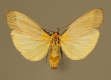 Lithosia quadra (Linnaeus, 1758)