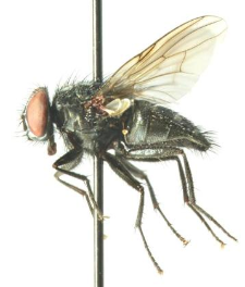 Muscina levida (Harris, 1780)