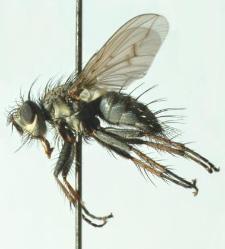 Campylocheta fuscinervis (Stein, 1924)