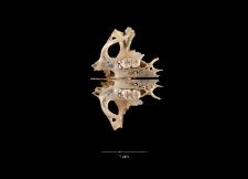 Jaculus orientalis