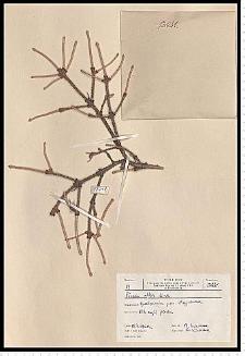 Picea glauca Voss