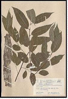 Salix pentandra L.