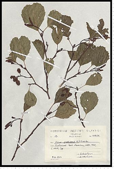 Alnus glutinosa (L.) Gaertn.