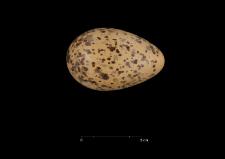 Larus dominicanus