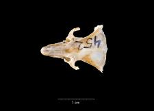 Meriones libycus