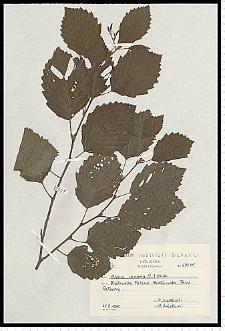 Alnus incana (L.) Moench