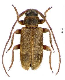 Exocentrus punctipennis M.E. Mulsant et F. Guillebeau, 1856