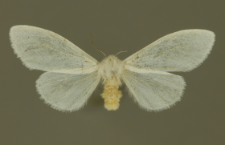 Hyphantria cunea (Drury, 1773)