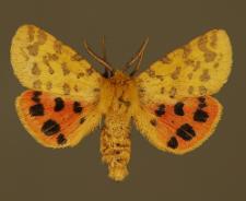 Diacrisia purpurata (Linnaeus, 1758)