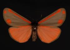 Tyria jacobaeae (Linnaeus, 1758)