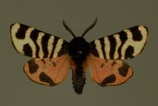 Arctia festiva (Hufnagel, 1766)