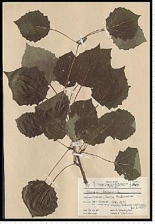 Populus tremula L.