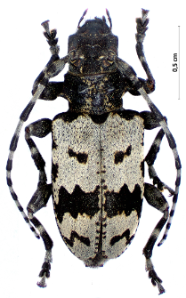 Aegomorphus krueperi(Kraatz, 1859)
