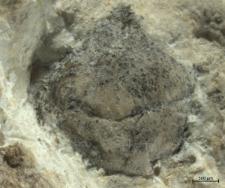 Tanidromites hyznyi