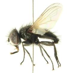 Leucostoma simplex (Fallen, 1815)