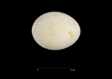 Pygoscelis adeliae