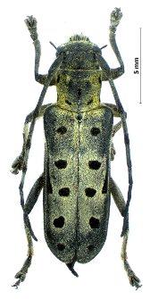 Saperda perforata(P.S. Pallas, 1773)
