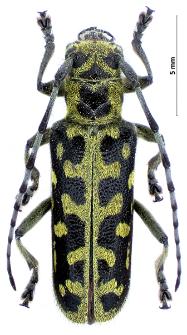 Saperdascalaris(Linnaeus, 1758)