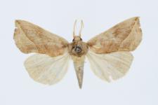 Calyptra thalictri