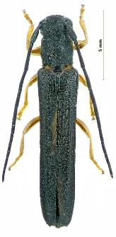 Oberealinearis(Linnaeus, 1760)