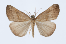 Hypena proboscidalis