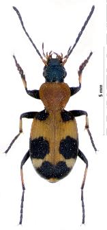 Callistus lunatus (Fabricius, 1775)