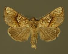 Polychrysia moneta (Fabricius, 1787)
