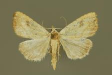 Rivula sericealis (Scopoli, 1763)
