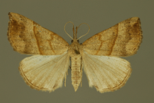 Hypena proboscidalis (Linnaeus, 1758)