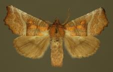 Scoliopteryx libatrix (Linnaeus, 1758)
