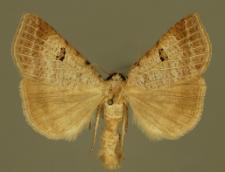 Lygephila viciae (Hübner, 1822)
