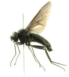 Symphoromyia melaena (Meigen, 1820)